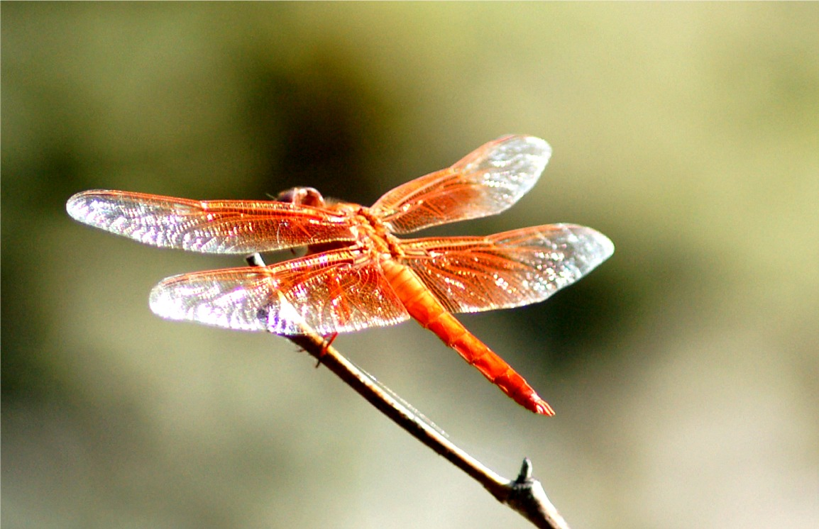 http://www.edupic.net/Images/Insects/odo_flame_skimmer_dragonfly325.JPG