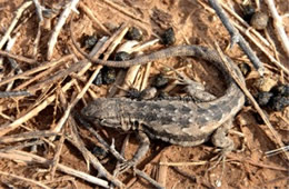 Uta stansburiana - Side-blotched Lizard