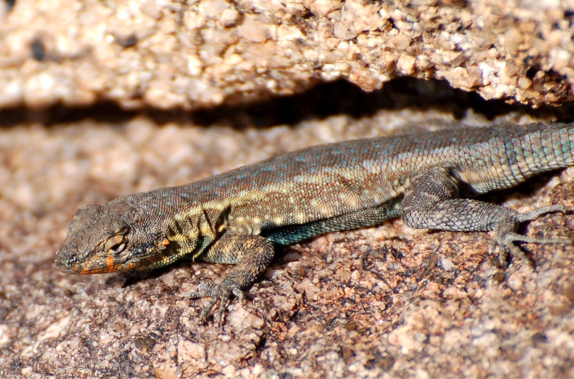 venomous lizard Their diet consists of reptiles,  they subdue their prey by injecting venom through large hollow fangs at  these lizards can tolerate cold temperatures by.