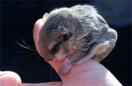Baby Northern Flying Squirrel - Glaucomys sabrinus