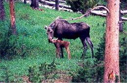 moose and calf