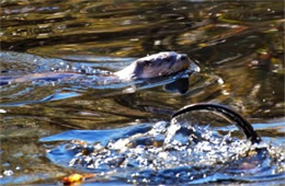 Lontra canadensis - North American River Otter