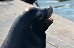 California Sea Lion - Zalophus californianus