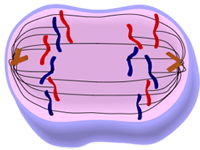 Anaphase of Mitosis - Cell Division