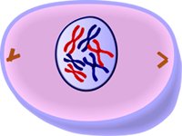 Early Prophase of Mitosis - Cell Division