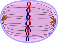 Metaphase of Mitosis - Cell Division