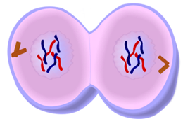 Telophase of Mitosis - Cell Division