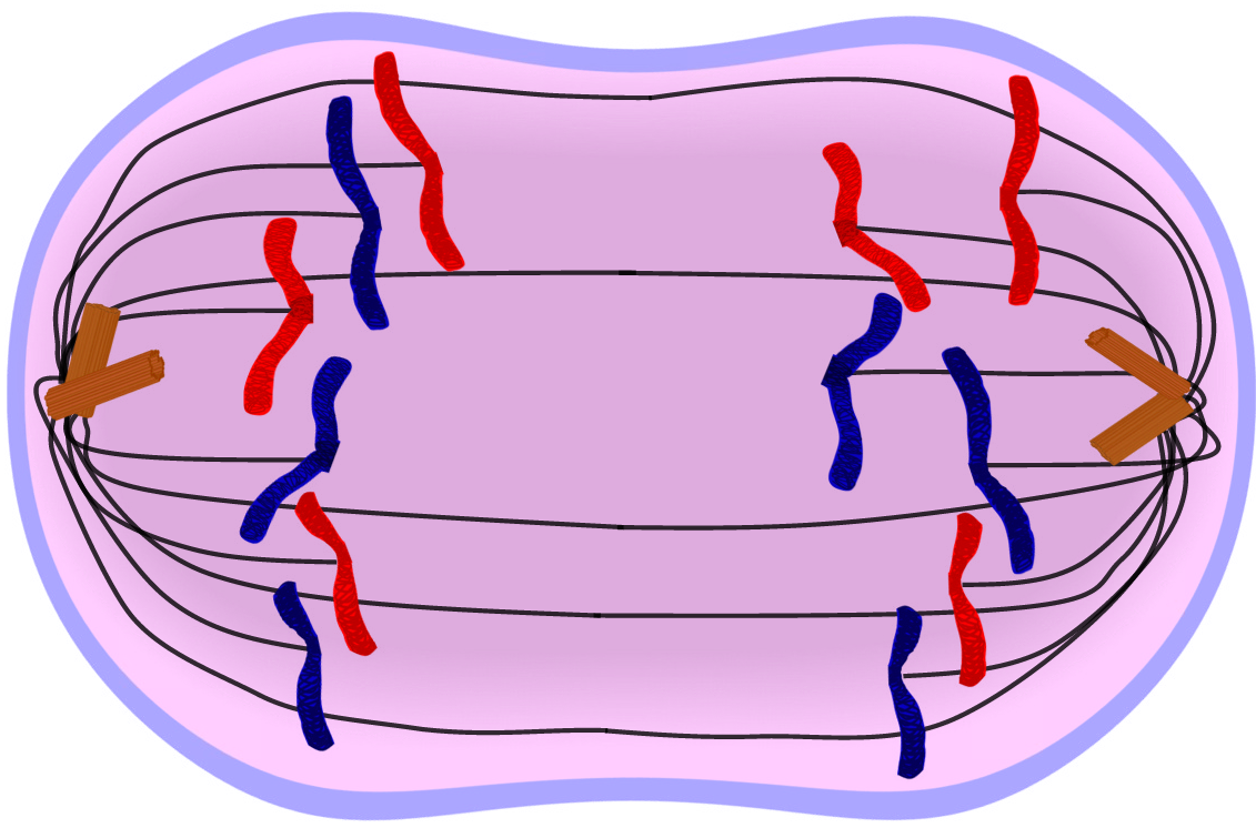Edupic cell drawings anaphase of mitosis cell division ccuart Images