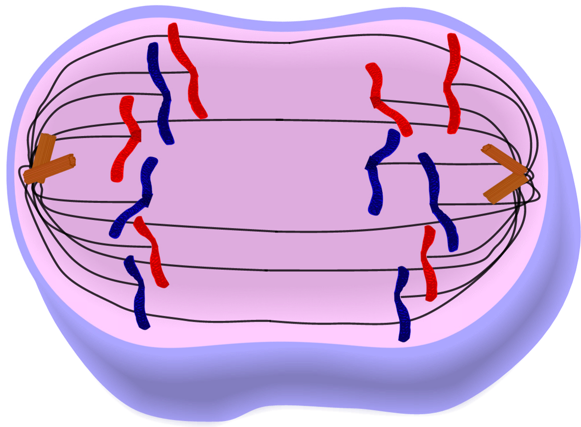 Edupic cell drawings anaphase of mitosis cell division ccuart