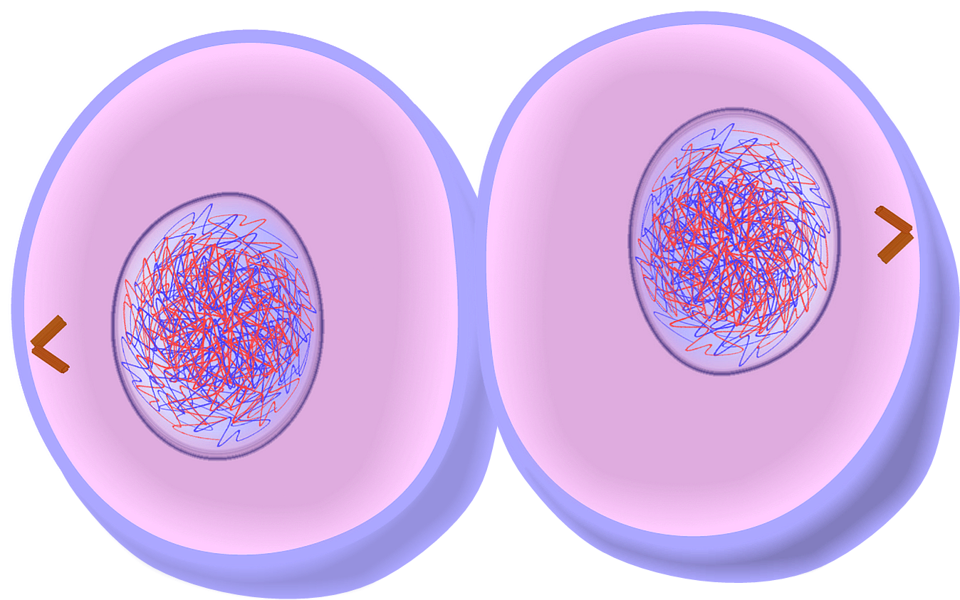Edupic cell drawings cytokinesis of mitosis cell division pooptronica Gallery
