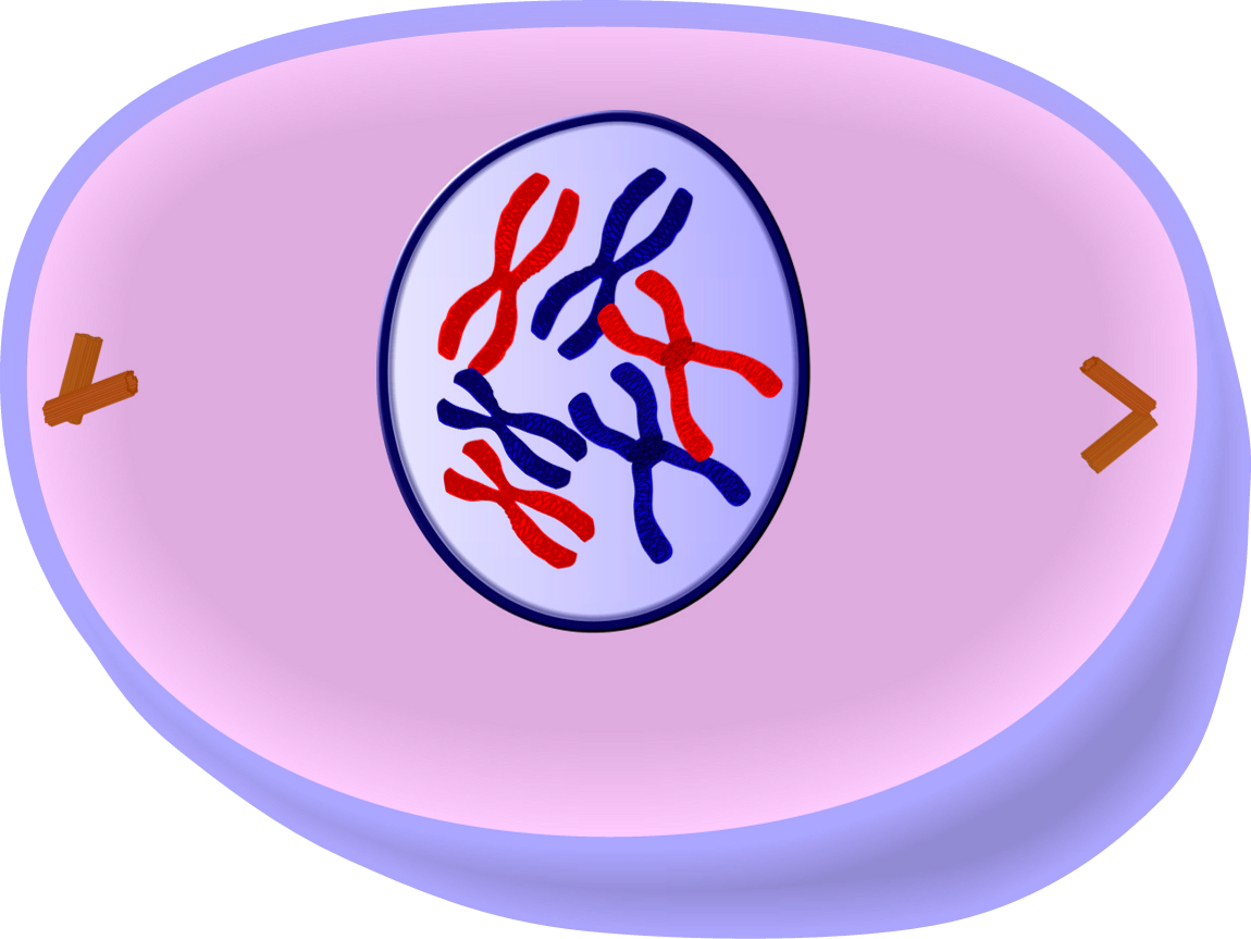 Image result for prophase mitosis