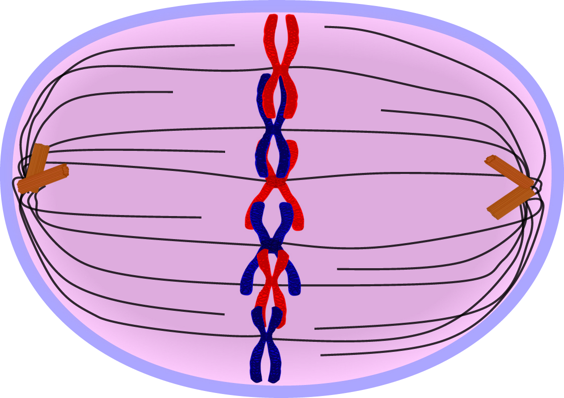 A cell undergoing division