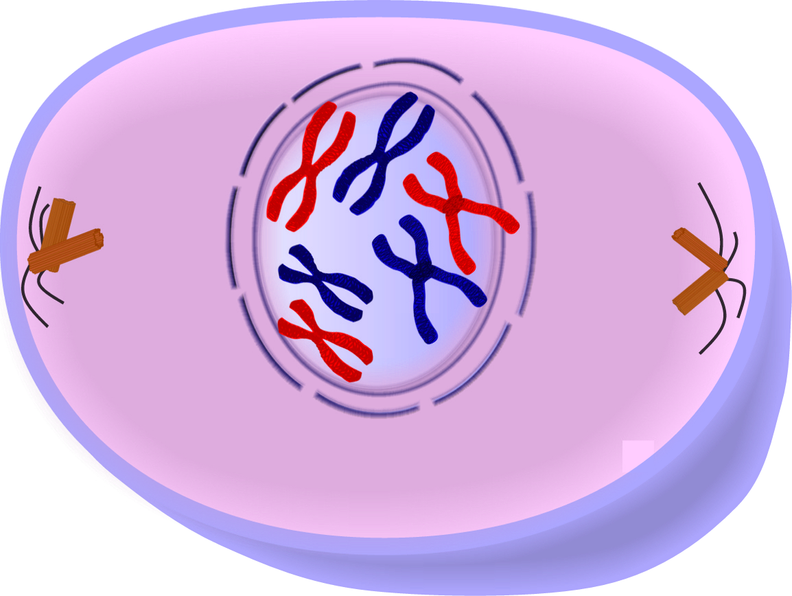 Edupic cell drawings prophase of mitosis cell division ccuart Images