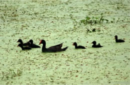 Gallinula chloropus - Common Moorhen Mother and Chicks