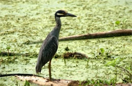 Nyctanassa violacea - Yellow-crowned Night Heron