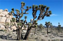 Joshua Tree Plant Producer National Park California