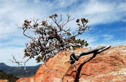 Arctostaphylos sp - Twisted Manzanita