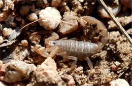 Vaejovis spinigerus - Arizona Stripedtail Scorpion