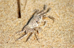 Ocypode quadrata -Juvenile Atlantic Ghost Crab
