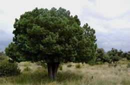 Aliigator Juniper Tree