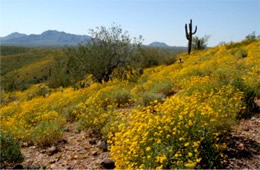 Arizona Wildflowers