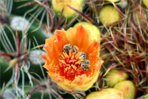 Cactus Bloom and Bees