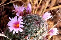 Mammillaria grahamii - Pincushion Cactus Flower