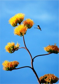 Golden-Flowered (Century) Agave - Agave chrysantha