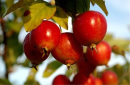 Crataegus - Hawthorn Fruit