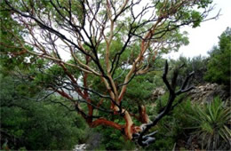 Arbutus xalapensis - Texas Madrone Tree