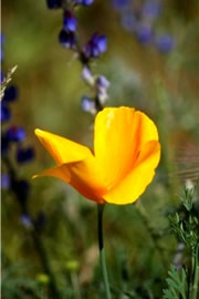 Eschscholtzia californica - Mexican Poppy