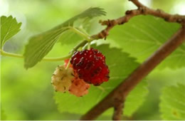 Morus rubra - Red Mulberry