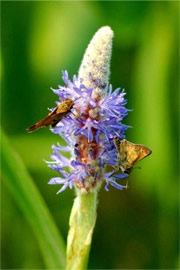 Pontederia cordata - Pickerelweed with Skippers