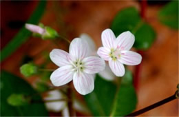 Claytonia virginica - Spring Beauty