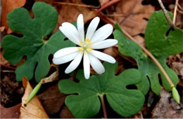 Sanguinaria canadensis - Bloodroot Flower