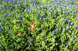 red and blue wildflowers