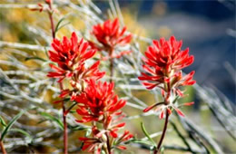 Castilleja lanata - Woolly Paintbrush