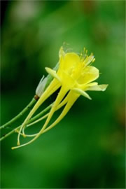 Aquilegia chrysantha - Yellow Columbine
