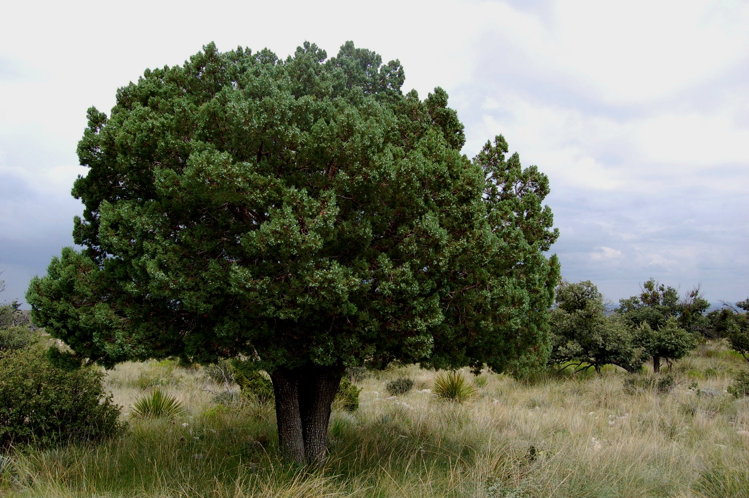 Favorite tree page 3 survivalist forum for The juniper
