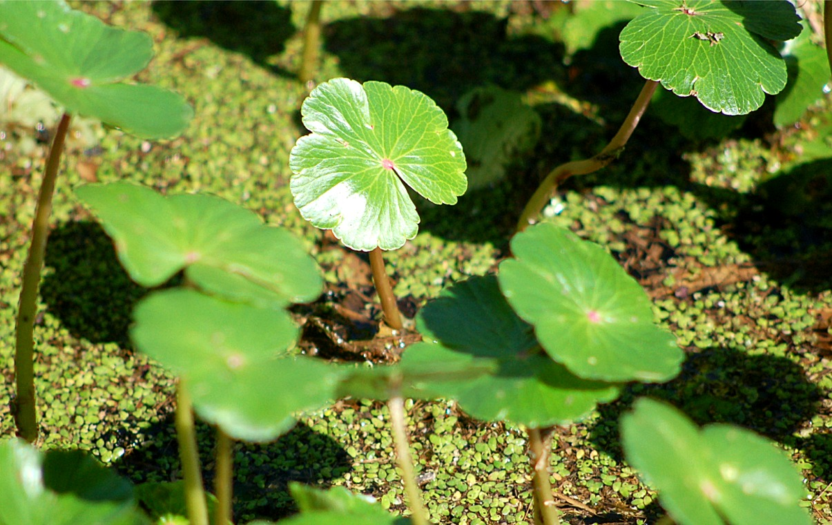Aquatic Plants : aquatic plants, dutch gap conservation area virginia, marsh, producer