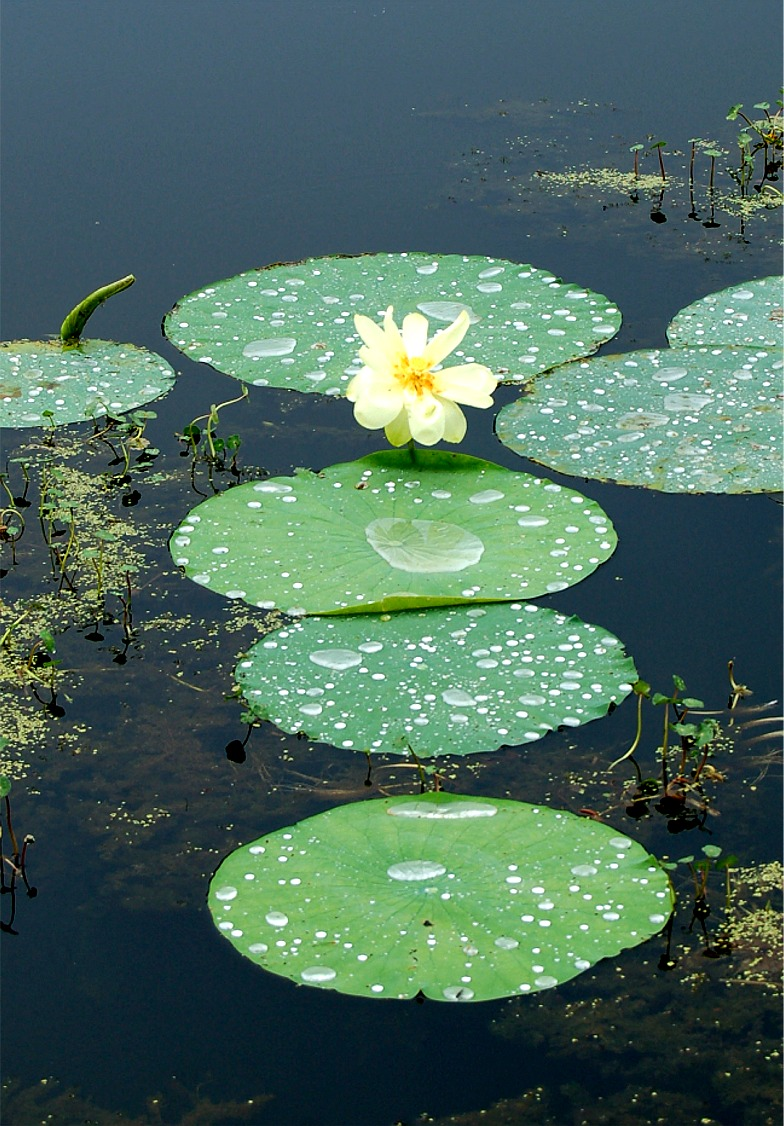 Plant producer lotus flower cullinan park texas aquatic plant