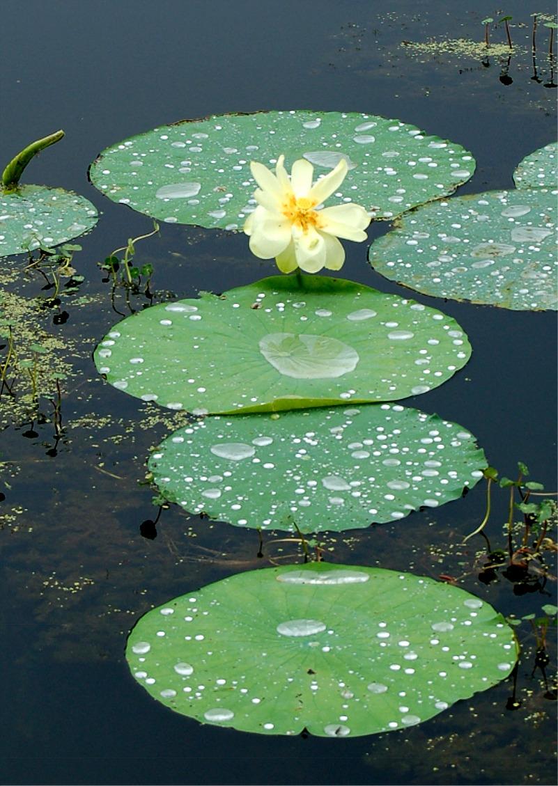 Plant producer lotus flower cullinan park texas aquatic plant
