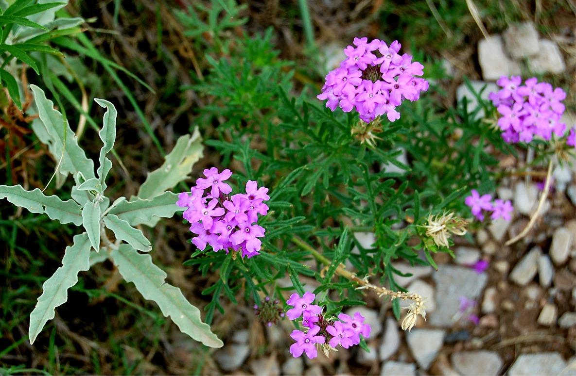 Peruviana Homestead Purple Verbena Related Keywords Peruviana Homestead Pur