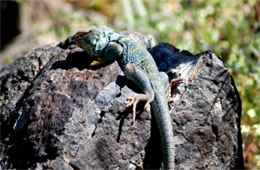 Crotaphytus collaris - Eastern Collared Lizard