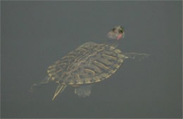 Trachemys scripta elegans - Red-eared Slider Turtle