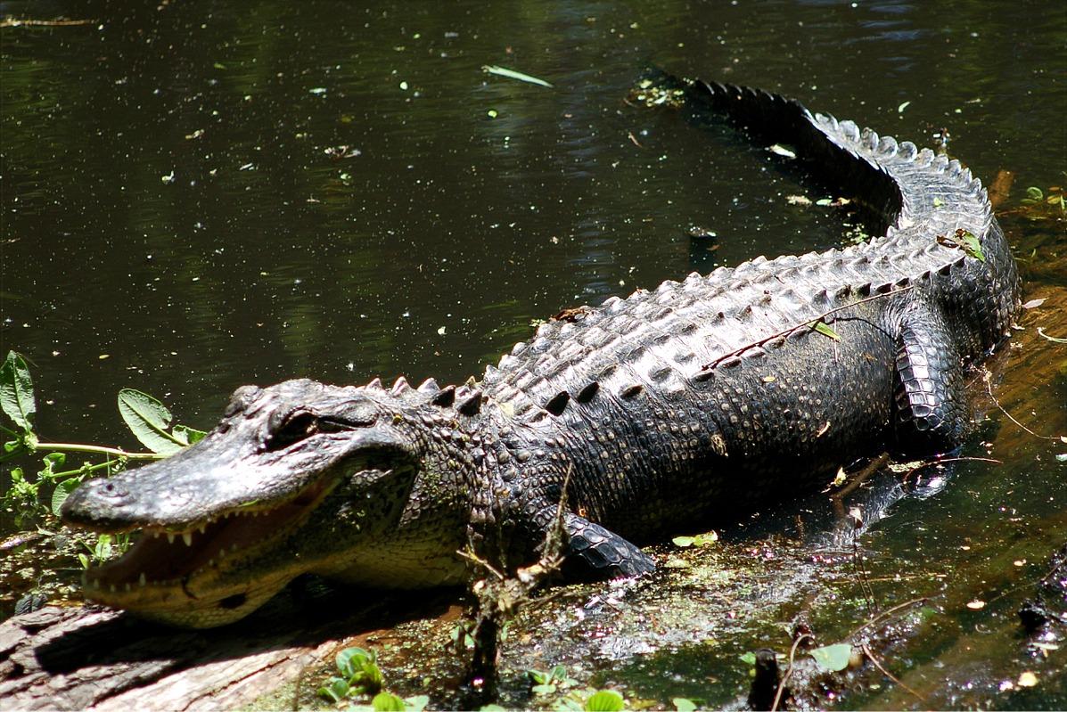 EduPic Alligator Images  EduPic Alligato...