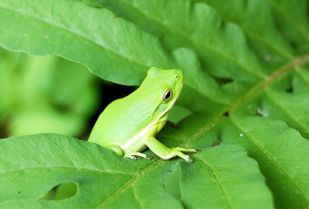 green tree frog - HD 1172×793