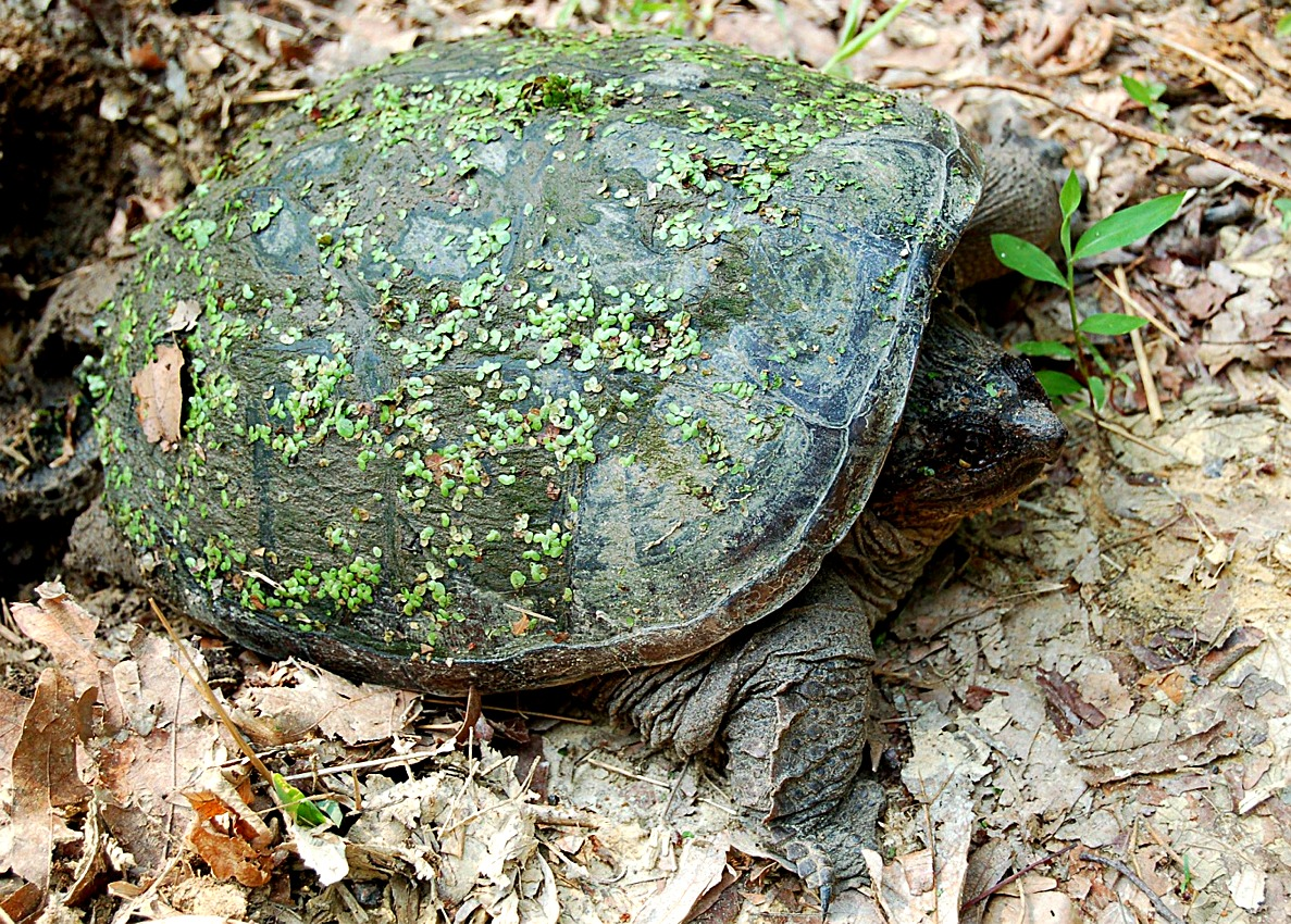 how to find snapping turtle eggs