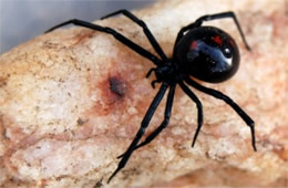 Latrodectus mactans  - Southern Black Widow Spider