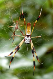 Nephila clavipes - Golden Silk Spider